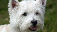 west-highland-terrier-westie